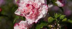 Výsledek obrázku pro hibiscus syriacus