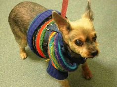 SUPER URGENT 03/22/15 Brooklyn Center MALISH - A1030987 NEUTERED MALE, GRAY / TAN, YORKSHIRE TERR / CHIHUAHUA SH, 12 yrs old. For more information on adopting from the NYC AC&C, or to find a rescue to assist, please read the following: http://urgentpetsondeathrow.org/must-read/