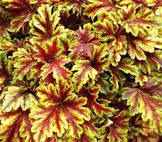 heucherella golden zebra... gotta have shade plant! love the colors! Have a few of these to bring to my house this year :)