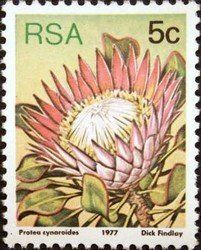 King protea (Protea cynaroides) , (Sugarbushes) . South Africa 1977 Rare Stamps, Vintage Stamps, Protea Art, Africa Tattoos, King Protea, South African Art, Postage Stamp Art, Color Me Beautiful, Flower Stamp