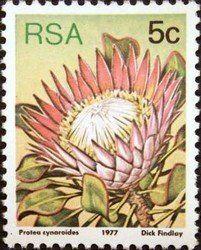 King protea (Protea cynaroides) , (Sugarbushes) . South Africa 1977