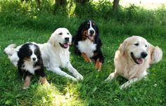 Bernese Mtn Dogs and Golden Retrievers