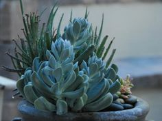 Drought-tolerant plants are trending, as gardeners across the country look for ways to save water. Topsy Turvy Echeveria doesn't require much, once it's established. Its orange and yellow flowers appear above blue-gray leaves.