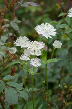 White flowers of Astrantia major 'Alba' Astrantia Flower, Astrantia Major, Hardy Perennials, Flowers Perennials, Planting Flowers, Kitchen Plants, Shade Flowers, Shade Plants, Border Plants