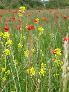 English Wild Meadow