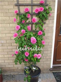 24 Best Vines for Containers - Climbing Plants for Pots / Balcony Garden Web Container Flowers, Container Plants, Container Gardening, Gardening Vegetables, Container Design, Pot Jardin, Growing Roses, Growing Plants, Front Yard Landscaping