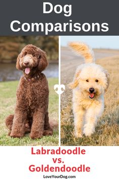 Thinking of picking up a Labradoodle or a Goldendoodle as your next puppy or rescue? F1b Labradoodle, Mini Goldendoodle Puppies, Australian Labradoodle, Goldendoodles, Goldendoodle Names, Standard Goldendoodle, Goldendoodle Haircuts, Goldendoodle Grooming, Labradoodles