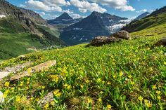 Glacier Lilies - Logan Pass to Many Glacier Via Highline and Swiftcurrent Pass Trails, Glacier National Park, Montana | pinned by haw-creek.com