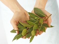 8 Incredible Benefits and Uses of Bay Leaves. Burn Them and the Results Will Amaze You! Bay Leaves, Plant Leaves, Gabriel, Healing Herbs, Green Plants, Herbal Medicine, Natural Remedies, Benefit, Herbalism