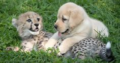 While cheetahs might look like majestic and dangerous beasts, actually, they are very nervous beings. They get so anxious, they don't know how to socialize with each other and get too stressed to have sex. That's why they needed help as they're becoming extinct - and the solution came in the most unexpected form...