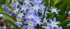 """A photograph of the the spring flowering Specialty Bulbs cultivar """"Glory of the Snow"""""""