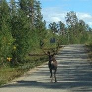 Renntier in Lemmenjoki