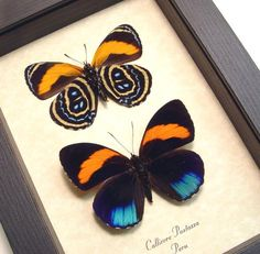 Product Description Real Framed Butterfly: Callicore Pastazza set Native Origin: Peru Frame Size: 5″ X 6 1/2″ Frame Color: Black Wood Frame: Finest Handmade Museum Quality Sealed Shadowbox Display.…