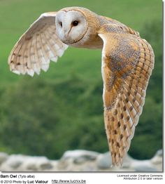 little guy (whom I have named Soren) is my desktop background. alba live only years, and this was taken in but ISN'T HE ADORABLE? Owl Photos, Owl Pictures, Beautiful Owl, Animals Beautiful, Beautiful Pictures, Owl Bird, Pet Birds, Barn Owl Images, Lechuza Tattoo
