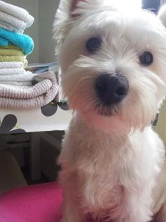 He looks like my old puppy Mylo! Westies, Westie Dog, Animals And Pets, Cute Animals, West Highland Terrier, White Terrier, White Dogs, Mans Best Friend, Funny Cute