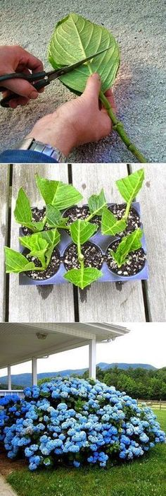 How to root_HORTENSIAS_ESQUEJES hydrangea cuttings. If i can, i want to make cuttings of my plants at my dad's house before moving out to somewhere :) so i can bring them with me in spirit Garden Projects, Planting Flowers, Plants, Garden, Lawn And Garden, Backyard Garden, Outdoor Gardens, Garden Landscaping, Gardening Tips
