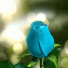 Discover & share this Blue GIF with everyone you know. GIPHY is how you search, share, discover, and create GIFs. Flowers Gif, Wild Flowers, Snoopy Gifts, Butterfly Gif, Aesthetic Roses, 5d Diamond Painting, Blue Roses, My Flower, Rose Buds
