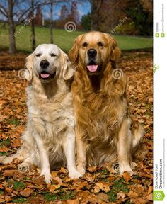 2 Golden Retrievers In Field Of Fall Leaves Royalty Free Stock ...