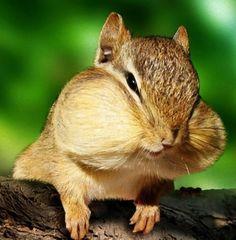 見せてもらおうか、リスの頬袋の性能とやらを。ほっぺたがパッツンパッツンになっているリスを愛でる会 : カラパイア