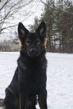Gorgeous German Shepherd #gsd #germanshepherd #shepped www.shepped.com