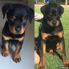 When it's been a couple of years but you're still mad #rottweiler #9gag @9gagmobile