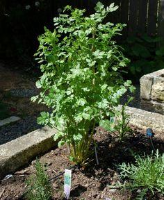 Taming My Cilantro Plant: 5 Recipes for Spring