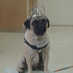 Cute pug + cool boyfriend = the strange science of independent art.