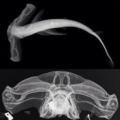 Hammer head shark X-ray Hammerhead Shark, Marine Biology, Ocean Creatures, Shark Week, Animal Anatomy, Nature Images, Ocean Life, Marine Life, Under The Sea