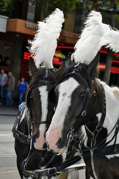 Gorgeous Horses who take you for those infamous horse and cart rides in Melbourne Australia.