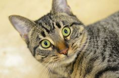 Meet Catniss a Petfinder adoptable Domestic Short Hair - brown Cat | Warren, MI | Catniss is just under a year old and ready to jump into your arms! She's playful, loving and oh so...