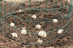How to Build a Potato Tower - One Hundred Dollars a Month Chicken Garden, Veg Garden, Summer Garden, Vegetable Gardening, Urban Gardening, Hydroponic Gardening, Indoor Gardening, Fresh Fruits And Vegetables, Fruit And Veg