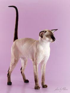 AMIKOSHI*RU: Cattery siamese & oriental cats. SIA & ORI. Izhevsk