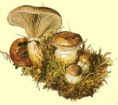 Bea's mushrooms - Artist/Naturalist Beatrix Potter