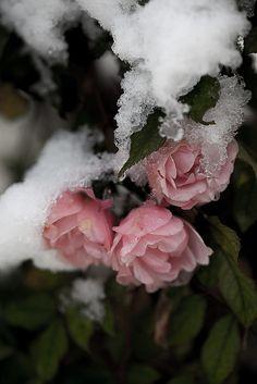 snow roses by ilva-b, via Flickr