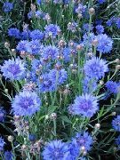 garden flowers light blue Knapweed, Star Thistle, Cornflower Centaurea  photos, description, cultivation and planting, care and watering