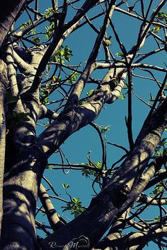 Baobá de Olinda - Brasil