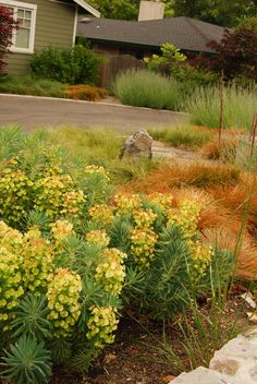 euphorbia and grasses in front yard