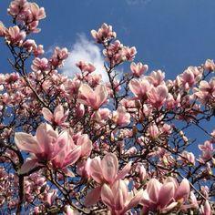 Beautifully blossomed magnolia tree