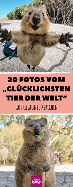 """20 photos of the """"happiest animal in the world"""" - 20 photos of the """"happiest animal in the world"""" # animal stories - Happy Birthday Golf, Funny Birthday Cards, Happy Animals, Funny Animals, Cute Animals, Quokka, Wire Dog Crates, Life Is Too Short Quotes, Pet Dogs"""