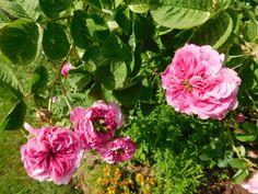 Duftendes Rosenwasser selber machen