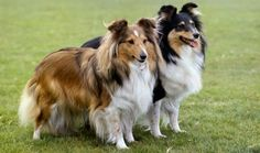 Shetland Sheepdog - This is a dog that might not seem intimidating or scary, but it's one that definitely wants to be as loyal as possible to his family. This is a dog that was bred to protect the herds of families for centuries, and that makes them very loyal. They become very attached to their families, and there is nothing wrong with that when it comes to a dog that makes such a good addition to any family.