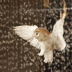 barn owl, beautiful