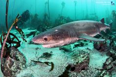 Broadnose Sevengill Cowshark by Jacques de Vos on 500px