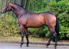 Trakehner stallion, Bel Baron.