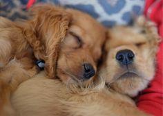 Sleepy cocker spaniel siblings Kaya & Honey