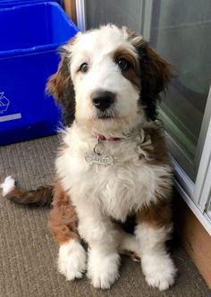 Sadie the Bernedoodle puppy