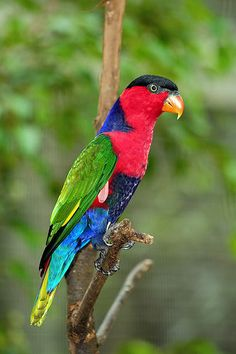 Colorful Black-Capped Lorikeet
