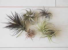 Airplants.