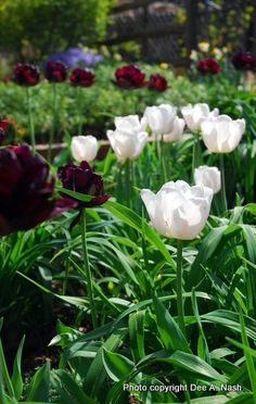 Black Hero and Silverado tulips planted amidgst daylily foliage