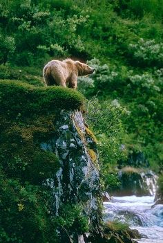 Photo of an adolescent Kodiak Brown Bear atop a cliff in Kodiak National Wildlife Refuge, Alaska.